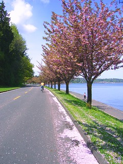 Cyclist in trail of Cherry Blossom petals | by LakewoodLady