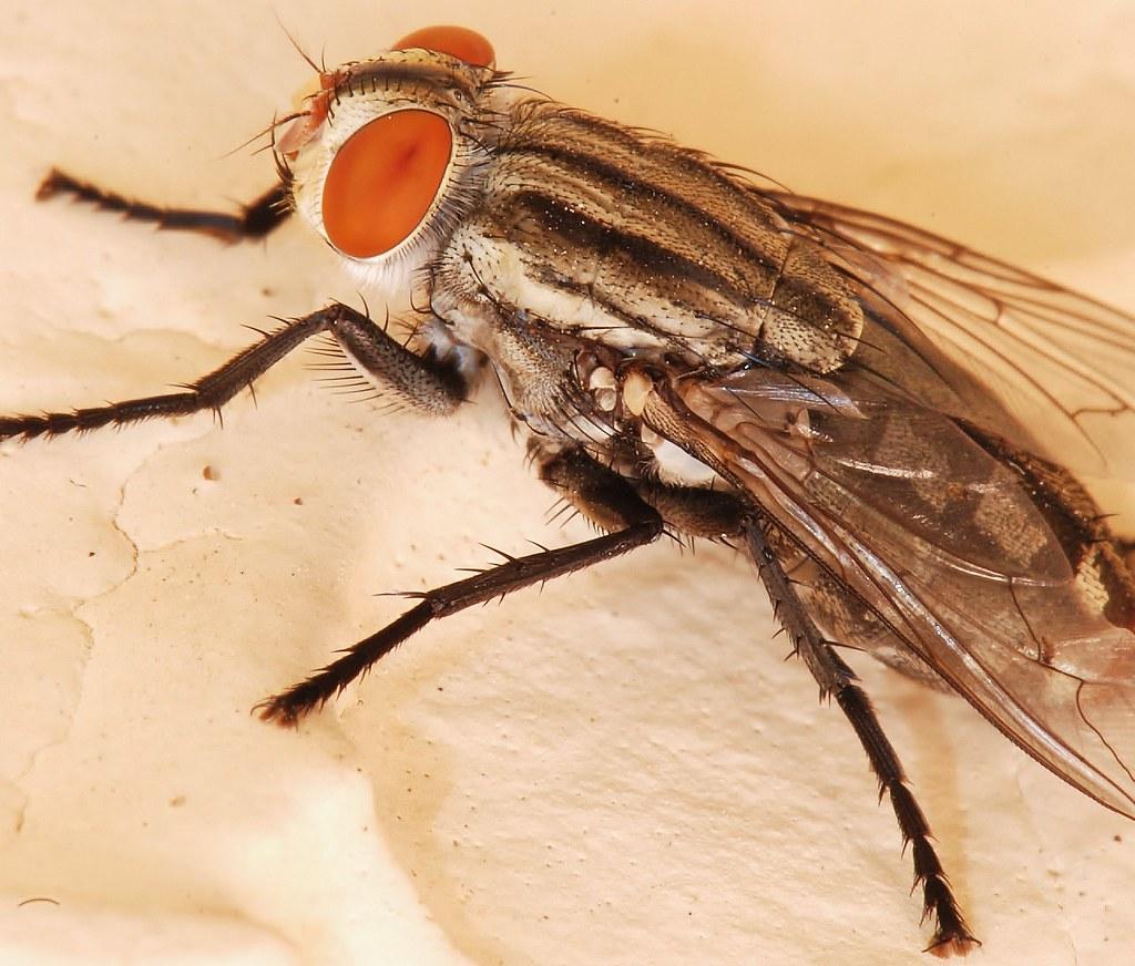 Fly Anatomy | Testing the 1:1 capability on the new lens. | Rami ...
