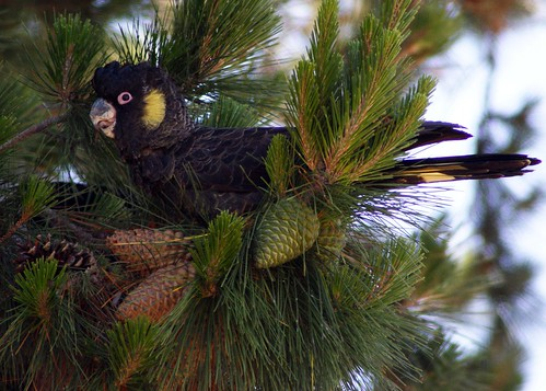 Yellow-tailed Black Cockatoo | by SillyOldBugger (in and out of internet range)