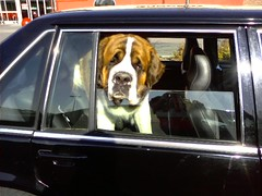 Dog in car | by Consumerist Dot Com
