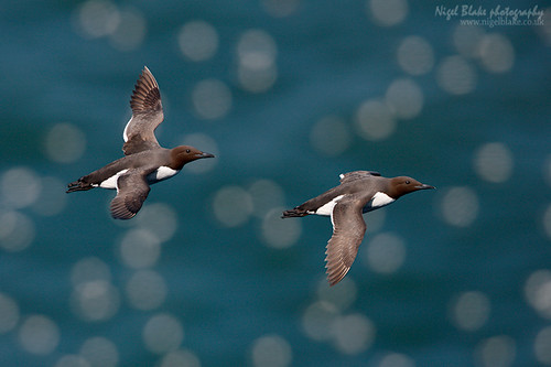Common Guillemot, Uria aalge | by Nigel Blake, 15 MILLION views! Many thanks!