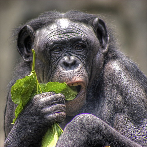 Female Bonobo | by Princess Stand in the Rain