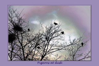 Pigeons at dusk | by IngeHG
