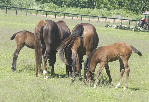 Thoroughbred mares & foal | by Just chaos