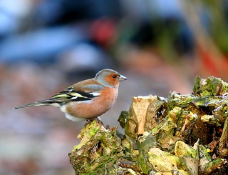 Chaffinch in our garden | by tijmenkroes