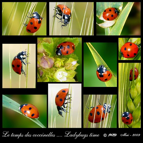 Pour votre 1er mai.... heureux comme des coccinelles ---- Your first may day.... happy as  ladybugs... | by Rached MILADI -رشاد الميلادي
