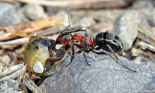 Ant - Formica aquilonia with lunch (tasty!!!) | by timz501