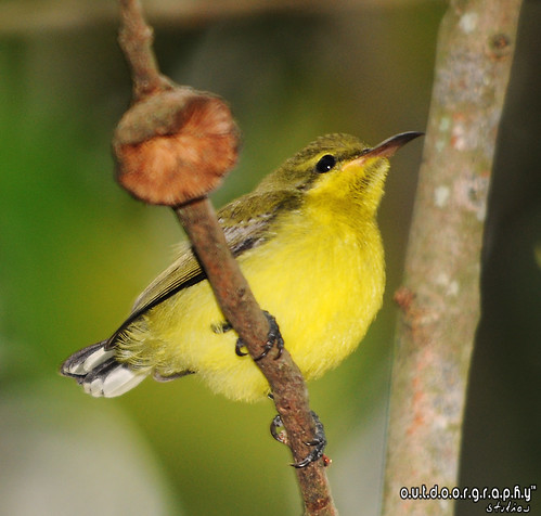Baby Sunbird | by Sir Mart Outdoorgraphy™