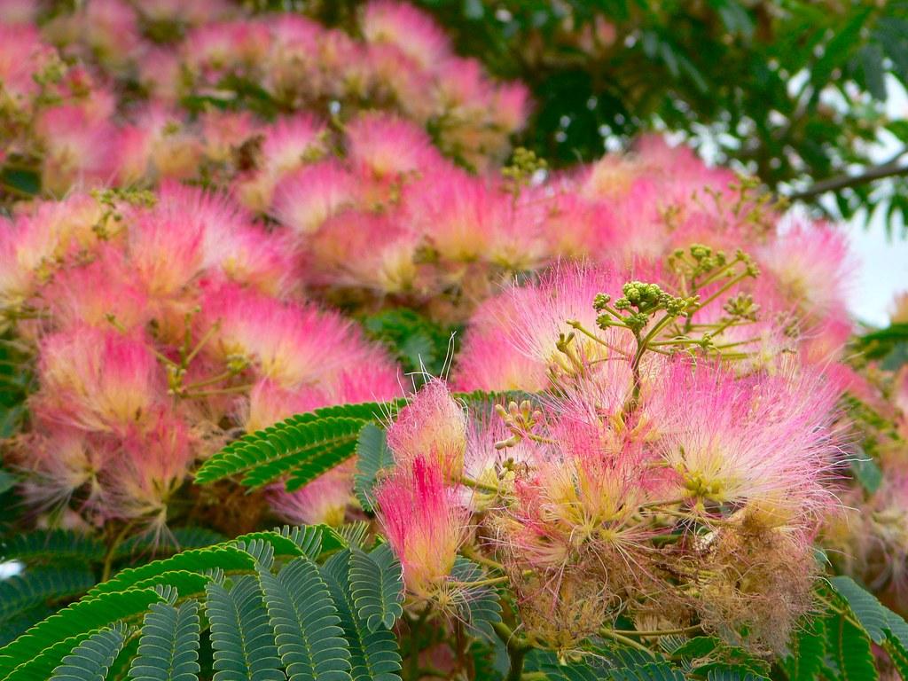 The silk tree flower albizia a summer favourite sandy austin the silk tree flower albizia by sandy austin mightylinksfo