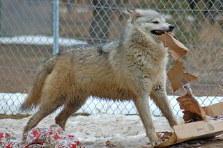 Cheyenne Present Toss 2009 | by Wild Spirit Wolf Sanctuary Wolves