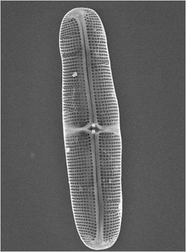 Diatoms | by Oregon State University