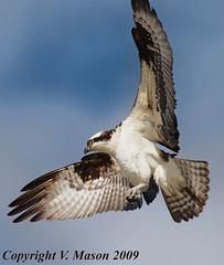 Osprey | by V. Mason