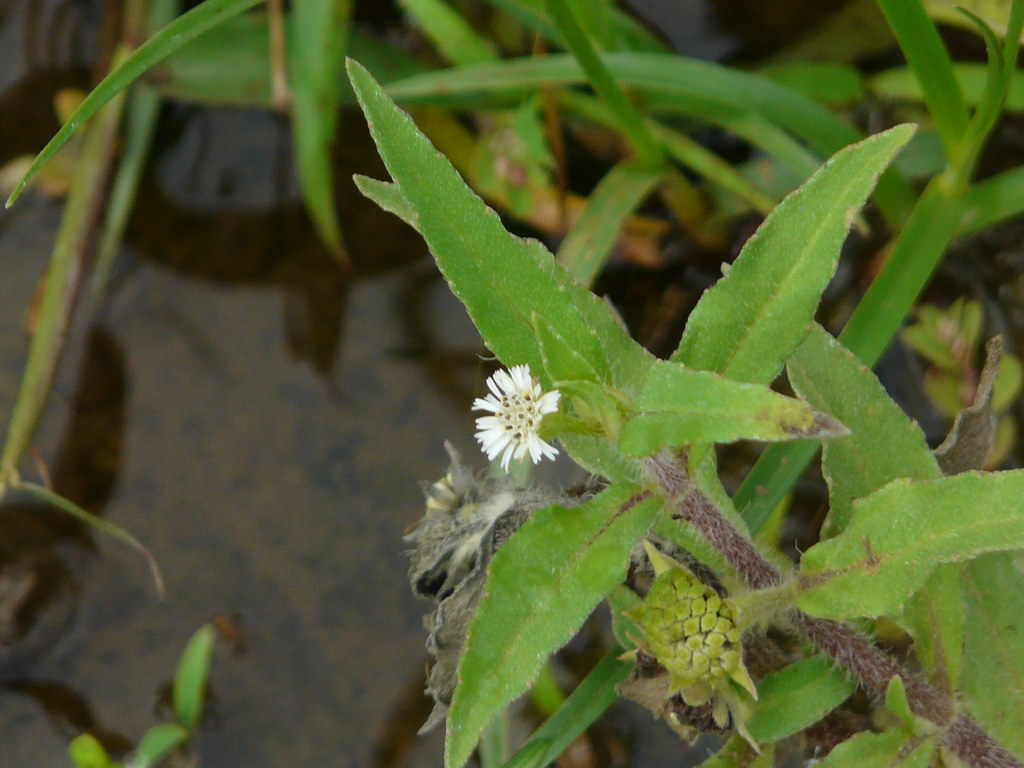 Bhringaraj marathi asteraceae aster daisy or bhringaraj marathi by dinesh valke izmirmasajfo