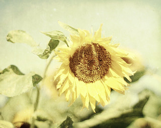 Look! It's another sunflower! | by txhippichic