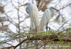 Great Egret Pair | Shangri La Gardens | by Blue Eyes and Bluebonnets