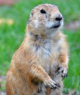 Prairie Dog Close-Up-1 | by Mike Doty