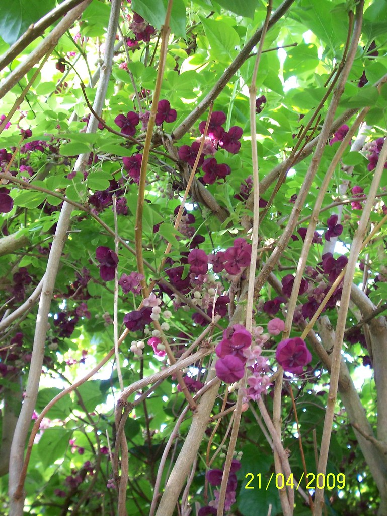Akebia quinata (Chocolate Vine) | This photo was taken in my… | Flickr