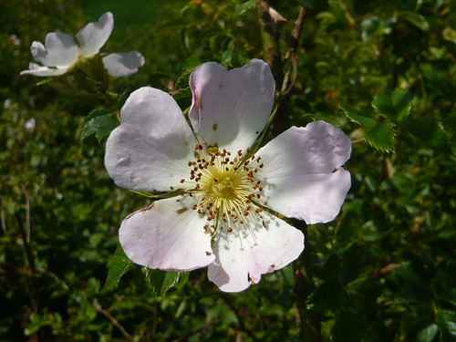 Dog rose | by brianpettinger