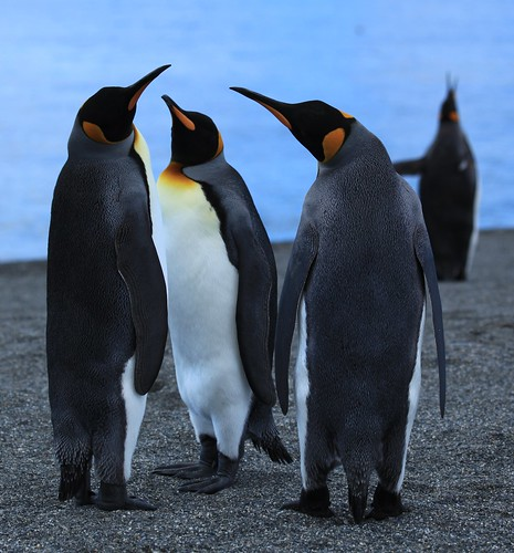 King Penguin threesome on the beach | by Liam Quinn