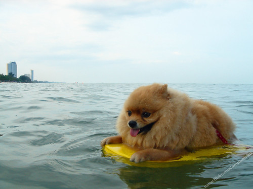 Poor Little Pom Pom / Pompom Dog Practice Swimming On Swimming Foam At Chaam Beach Thailand / ปอมปอมหัดว่ายน้ำ | by AmpamukA
