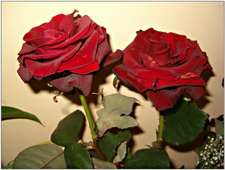 Roses | by *Toia*