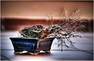 BONSAI #1.He will survive !!! | by Francesc Oliver