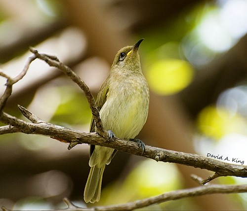 Brown Honeyeater | by daKing pics