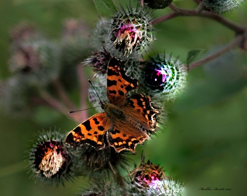 Polygonia c-album, Comma butterfly | by markku mestila