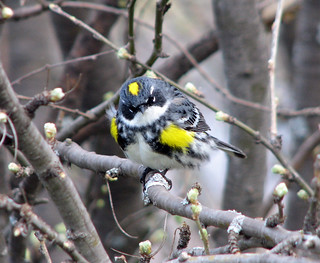 Yellow-rumped Warbler | by Laura Erickson