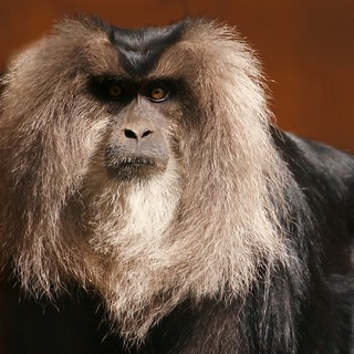Lion-Tailed Macaque | by rogersmithpix