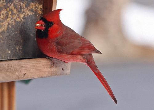 Male Cardinal at Feeder | by twg1942