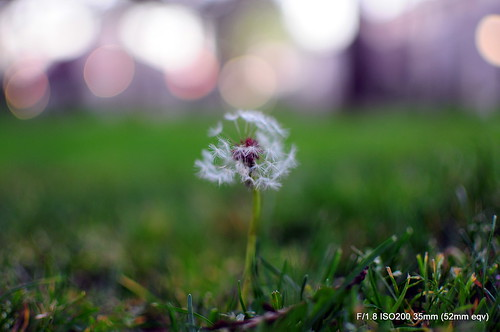 The Last Dandelion | by PanDiSal