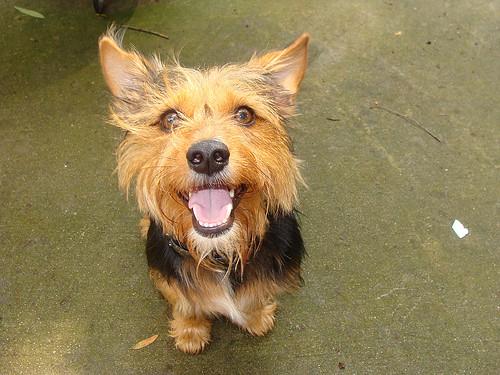 Arthur Yorkie Rat Terrier Mix Amanda Locations Flickr