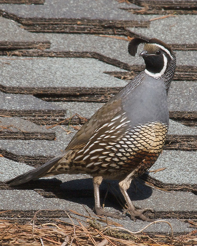 California Quail | by Tom Clifton