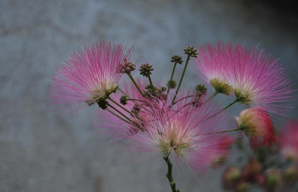 райско дърво райско дърво | tchara | Flickr райско дърво