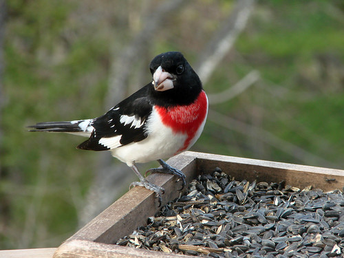 Rose-breasted Grosbeak | by Laura Erickson