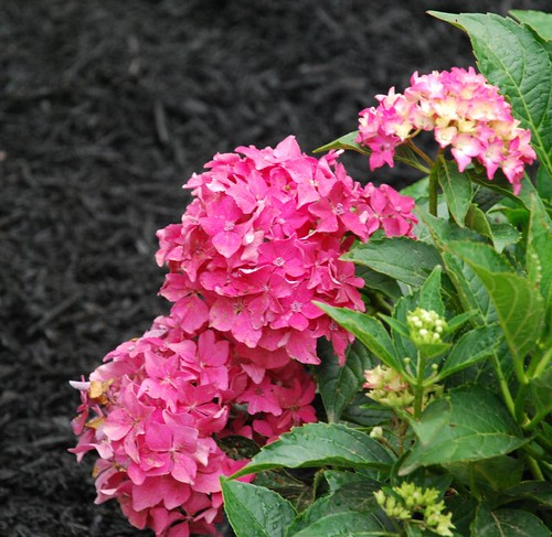 Hydrangea - Pink Mop-heads | by A Storybook Life