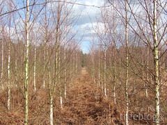 Thetford birch provenance trial (27th February 2008) | by treeblog