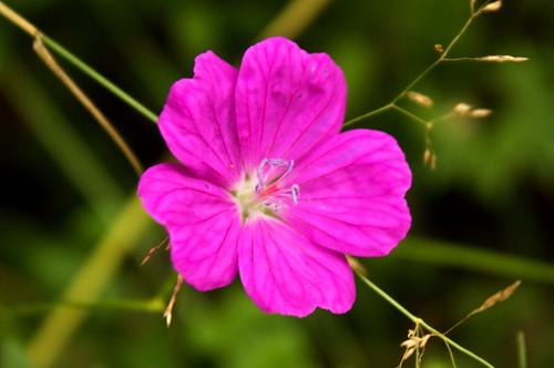 Wild Geranium (Geranium manculatum)