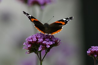 Red Admiral on Verbena Bonariensis | by Dave Hamster