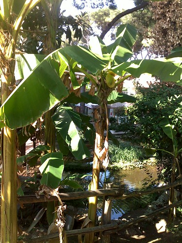Albero di banano questa la pianta che ha il fiore e le for Albero di banane