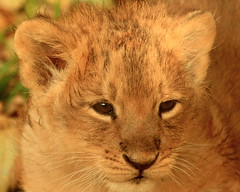 Do You Think~Because I'm Young~I Don't Know How To Roar?( Meow ) Sadness ! R.I.P. Chakra the Lion Cub ~ Put To Sleep 09-01-'09 ! (see link below) 16/01/'09 | by Kap'n'Kaos
