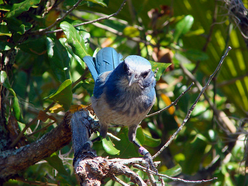 Florida Scrub-Jay | by Laura Erickson
