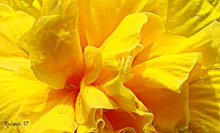 Double yellow hibiscus in yer face | by *Amanda Richards