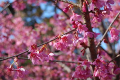 Prunus 'First Lady' | by Metricula