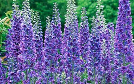 ENGLISH COTTAGE GARDEN FLOWERS  DELPHINIUMS | by forpawsgrooming