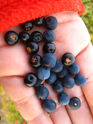 Handpicked Blueberries | by Cristen Rene