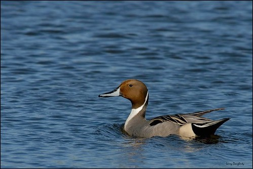 Mr. Pintail | by Larry Daugherty ~ slow for several days! :-)