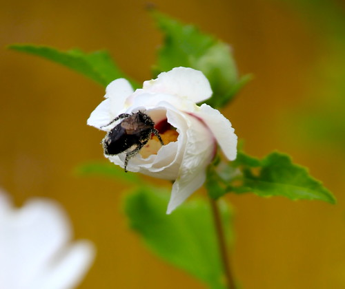 Bee in the Rose of Sharon | by mathowie