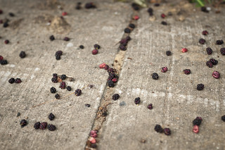 Mulberries on the Sidewalk | by goingslowly